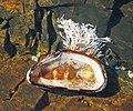 Mytilus edulis mussel shell with encrusting Corallina officinalis red algae (Seawall Beach, Mt. Desert Island, Maine, USA).jpg