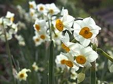 N2 Narcissus.jpg