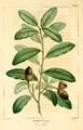 NAS-012f Quercus virginiana.png