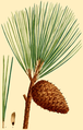 NAS-143g Pinus rigida.png