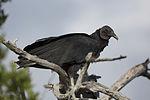 NASA Kennedy Wildlife - Black Vulture.jpg