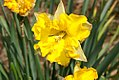 Narcissus Chanterelle 0zz.jpg