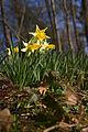 Narcissus pseudonarcissus (Narcisse jaune) 3 - W.Sandras.jpg