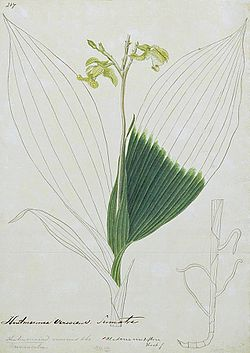 Naturalis Biodiversity Center - L.2096054 - Claderia viridiflora - Artwork - cropped.jpeg