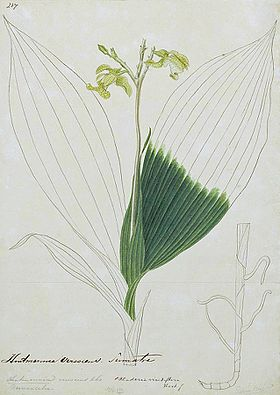 Naturalis Biodiversity Center - L.2096054 - Claderia viridiflora - Artwork - cropped.jpeg