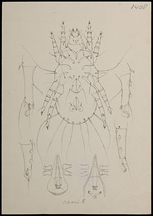 Naturalis Biodiversity Center - RMNH.ART.1709 - Tyroglyphus casei (Oudemans) - Mites - Collection Anthonie Cornelis Oudemans.jpeg