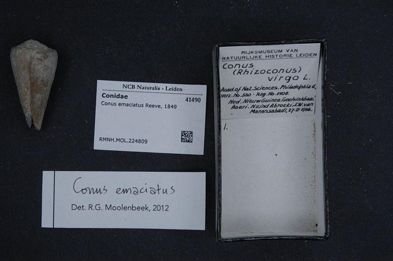 File:Naturalis Biodiversity Center - RMNH.MOL.224809 - Conus emaciatus Reeve, 1849 - Conidae - Mollusc shell.jpeg