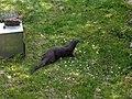 Natuurpark Lelystad - Otter (Lutrinae) v4.jpg