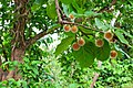 Nauclea orientalis 031211-3212.jpg