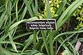 Nectaroscordum siculum bulgaricum 0zz.jpg