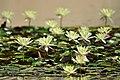 Nenufares-lago de can jalpi-arenys de munt-2013.JPG