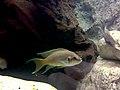 Neolamprologus pulcher - aquarium 1.jpg