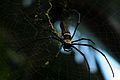 Nephila pilipes bulit his web to catch small bats.jpg