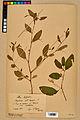 Neuchâtel Herbarium - Impatiens noli-tangere - NEU000019953.jpg