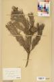 Neuchâtel Herbarium - Pinus sylvestris - NEU000003776.tif