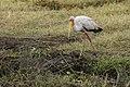 Ngorongoro Conservation Area 06 - yellow-billed stork (Mycteria ibis).jpg