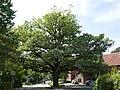 Niederntudorf - Eiche an der Antoniusstraße.jpg