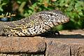 Nile Monitor (Varanus niloticus) juvenile (16622461748).jpg