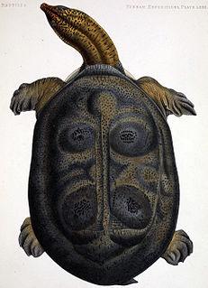 Burmese peacock softshell species of reptile