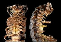 Gonopods are unlike walking legs