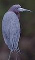 Not a great blue. But, still an attractive bird. (8621254897) (2).jpg