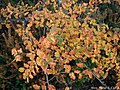 Nothofagus-antarctica-autumn.JPG