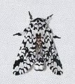 Notodontid Moth (Cerura gonema) (25603506937).jpg