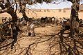 Nubia- 2008- goats farming.jpg