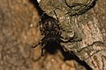 Nuctenea umbratica Bytom.jpg
