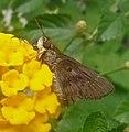 Nyctelius nyctelius agari, Violet-banded Skipper. - Flickr - gailhampshire.jpg