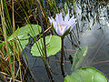 Nymphaea capensis 1.jpg