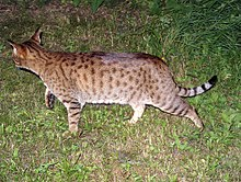 4b273ac764 Brown Spotted tabby pattern on an Ocicat