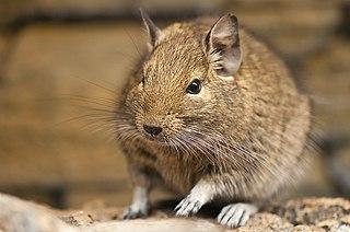 Common degu species of small caviomorph rodent