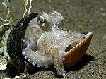 Octopus shell.jpg