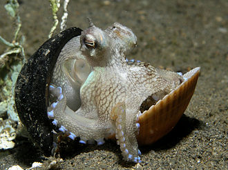 Pain in invertebrates - The octopus Amphioctopus marginatus