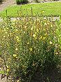 Oenothera odorata0.jpg