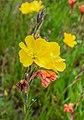 Oenothera stricta in Bay of Plenty Region 04.jpg