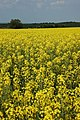 Oil seed rape field, Besford - geograph.org.uk - 799673.jpg