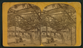 Old Mammoth Grape Vine of Santa Barbara, Cal, from Robert N. Dennis collection of stereoscopic views.png