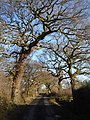 Old Oak trees on Wood Lane - geograph.org.uk - 318590.jpg