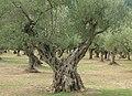 Old olive tree - panoramio.jpg
