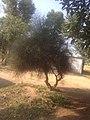 Old tree - panoramio (3).jpg