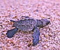 Olive ridley hatchling in Mexico (8218893828).jpg