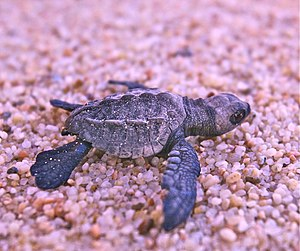 Olive ridley sea turtle - Olive ridley hatchling