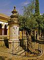 Olivo del Patio de los Naranjos - Mezquita de Córdoba.jpg