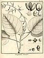 Omphalea diandra Aublet 1775 pl 328.jpg
