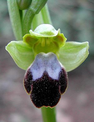 Ophrys - Ophrys fusca (Sombre Bee-orchid)