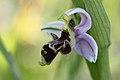 Ophrys pictaIMG 3977.jpg