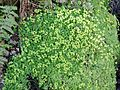 Opposite-leaved Golden Saxifrage (Chrysosplenium oppositifolium).JPG