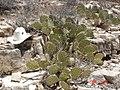 Opuntia dulcis, New Mexico.jpg